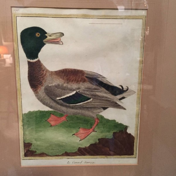 Comte de Buffon's Ducks