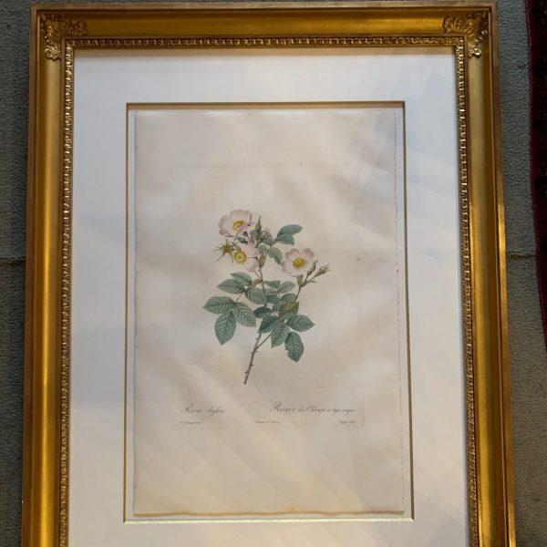 Pierre-Joseph Redoute, Les Roses